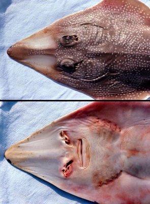 Guitarfish, famili dari Rhinobatidae sejenis ikan pari