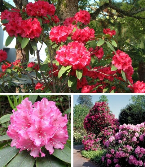 http://4get2remember.files.wordpress.com/2009/09/rhododendron.jpg