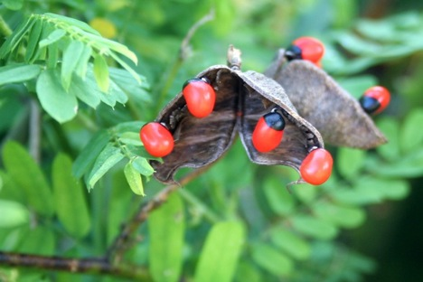 http://4get2remember.files.wordpress.com/2009/09/rosary-pea.jpg?w=639&h=312