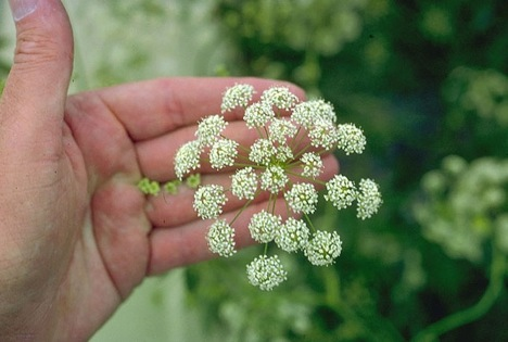 http://4get2remember.files.wordpress.com/2009/09/water-hemlock.jpg